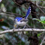 Daintree Rainforest bird life