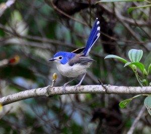 Daintree Rainforest bird life