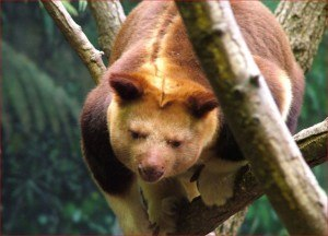 endangered animals live in the Daintree Rainforest