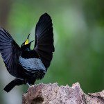 Daintree Rainforest bird life includes Victorias Riflebird