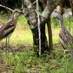 atherton tablelands birdwatching