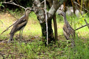 atherton tablelands birdwatching