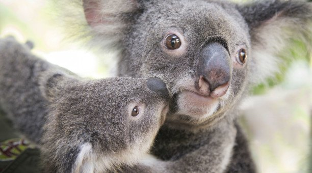 cuddle a koala at the Cairns City Wildlife dome